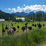 Ostrich Breeders For Sale! Great Agriculture Business!